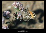 Papillons - planche6  dans Papillons 41-150x106