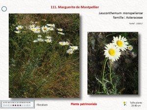 11-Marguerite