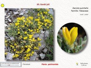 2-Genet pulchella