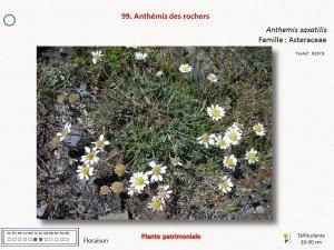 7-Anthémis